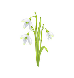 Snowdrop galanthus bell shaped flower icon vector