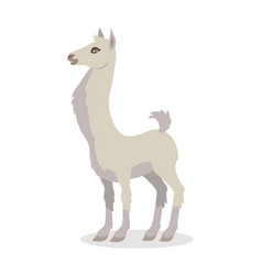 Llama isolated on white south american camelid vector