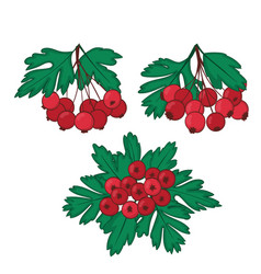 A set of three bunches of ripe berries of hawthorn vector