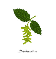 drawing branch hornbeam tree vector image