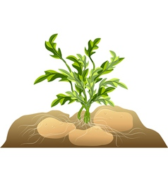potato in soil vector image