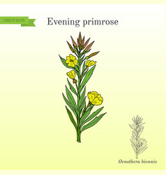 Evening primrose oenothera biennis ornamental vector