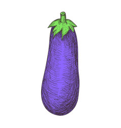 fresh eggplant hand drawn isolated icon vector image