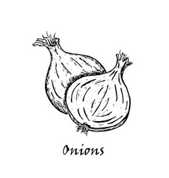 hand drawn of two onions vector image