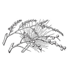 Branch of desert fan palm vintage vector
