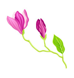 Fragrant purple magnolia bowl-shaped flower bud on vector