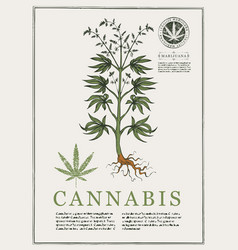hand-drawn botanical with cannabis vector image