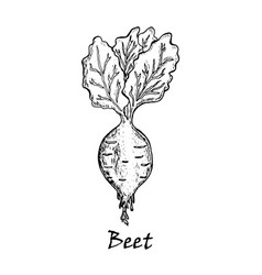 Hand drawn of a beet with leaves vector