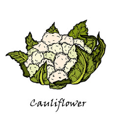 Cauliflower hand drawing of vegetables vector