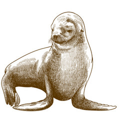 engraving antique fur seal vector image
