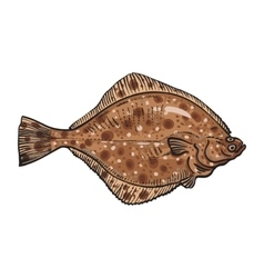 Hand drawn flounder sketch style vector