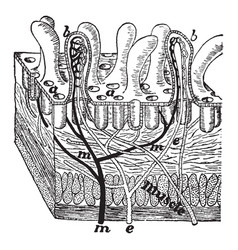 Section of intestine wall vintage vector