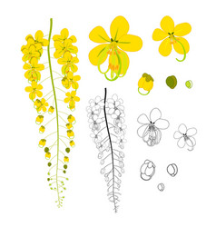 Cassia fistula - gloden shower flower with sketch vector