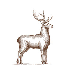 a deer drawing by hand in vintage vector image