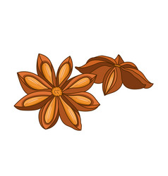 Anise star colored botanical vector
