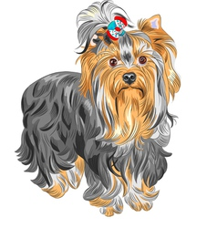 serious Yorkshire terrier vector image