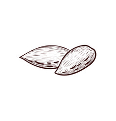 Drawing almond nuts vector