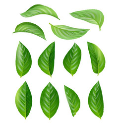 green tea leaves eco natural plants aromatic hot vector image