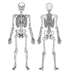 Skeleton structure back and front view human vector