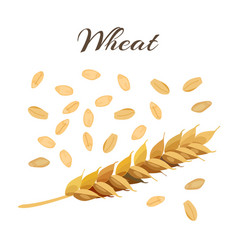 Wheat ear and grains vector