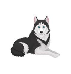 siberian husky white and black purebred dog vector image