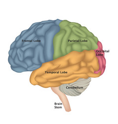 Brain anatomy human brain lateral view vector