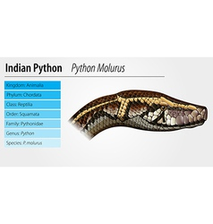 Indian python vector image