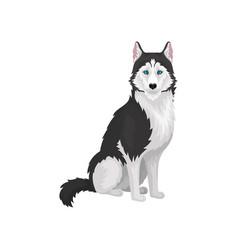 siberian husky purebred dog with blue eyes vector image