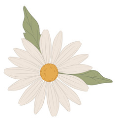 Chamomile flower plant with petals and leaves vector