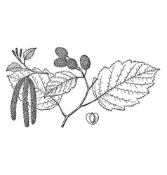 branch of alnus sitchensis vintage vector image