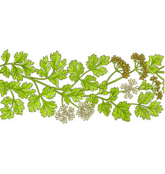 coriander pattern vector image