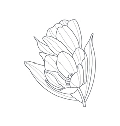 Tulip Flower Monochrome Drawing For Coloring Book vector image vector image