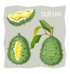 durian fruit in sharp cracked skin with piece of vector image vector image