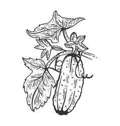 cucumber sketch engraving vector image