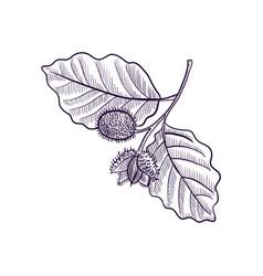 Drawing branch beech tree vector