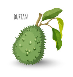 Exotic durian in sharp closed skin with leaves vector