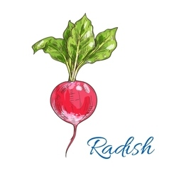 Red radish vegetable sketch for farming design vector image