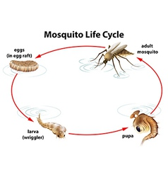 The life cycle of a mosquito vector image