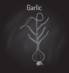 garlic plant kitchen herbs collection vector image
