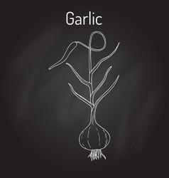 Garlic plant kitchen herbs collection vector