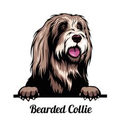 Peeking dog - bearded collie - dog breed color vector