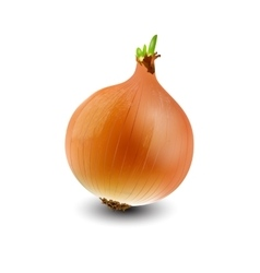 realistic onion vector image