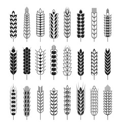 Spikelets or cereal wheat or rye ears vector