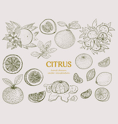 Hand drawn citrus botanical set vector