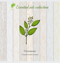 cinnamon essential oil label aromatic plant vector image