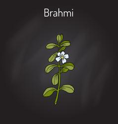 Brahmi bacopa monnieri or waterhyssop vector
