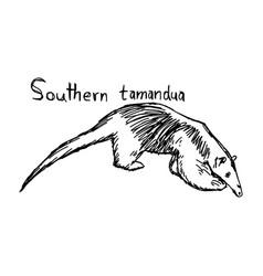 southern tamandua vector image