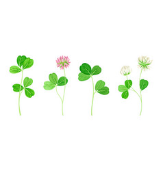 Clover or trefoil with dense spike purple and vector