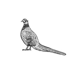 Common pheasant bird sketch vector