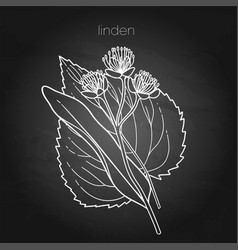 Graphic linden plant isolated on chalkboard vector
